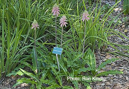 Veltheimia-bracteata (2).jpg