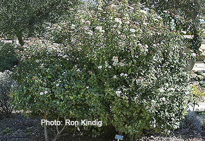 Viburnum-tinus-Spring-Bouquet.jpg