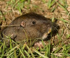 pocket gopher -Thomomys bottae.jpg