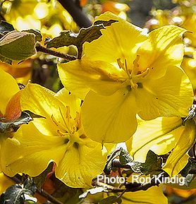 Fremontodendron 'Pacific Sunset'