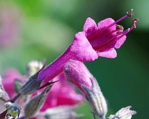 Lepechinia salviae