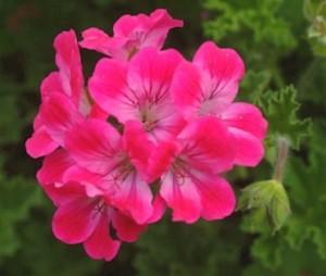 Pelargonium 'Brilliant'