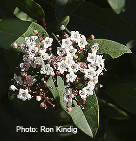 Viburnum tinus 'Spring Bouquet'