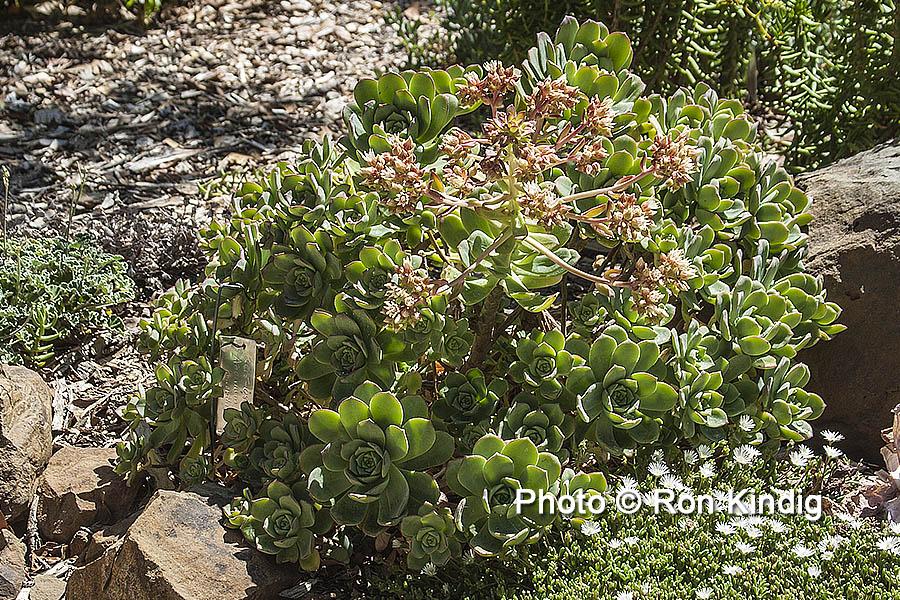Aeonium haworthii KINDIG WEB.jpg