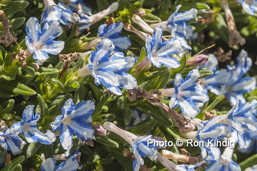 Lithodora diffusa 'White Star' CU KINDIG WEB.jpg