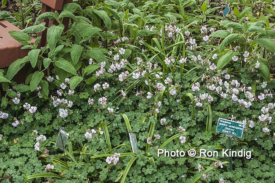 Geranium cantabrigiense 'Biokovo' KINDIG WEB.jpg