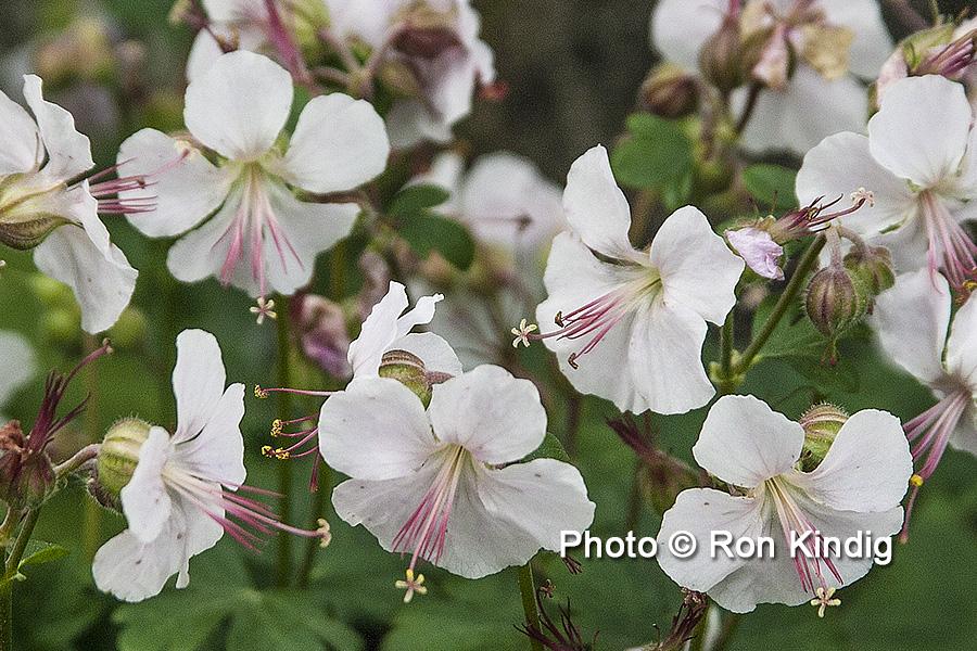 Geranium cantabrigiense 'Biokovo' CU KINDIG WEB.jpg