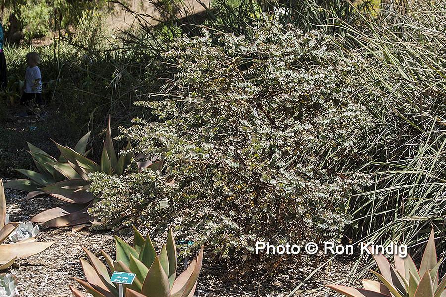 Eucalyptus kruseana KINDIG WEB.jpg