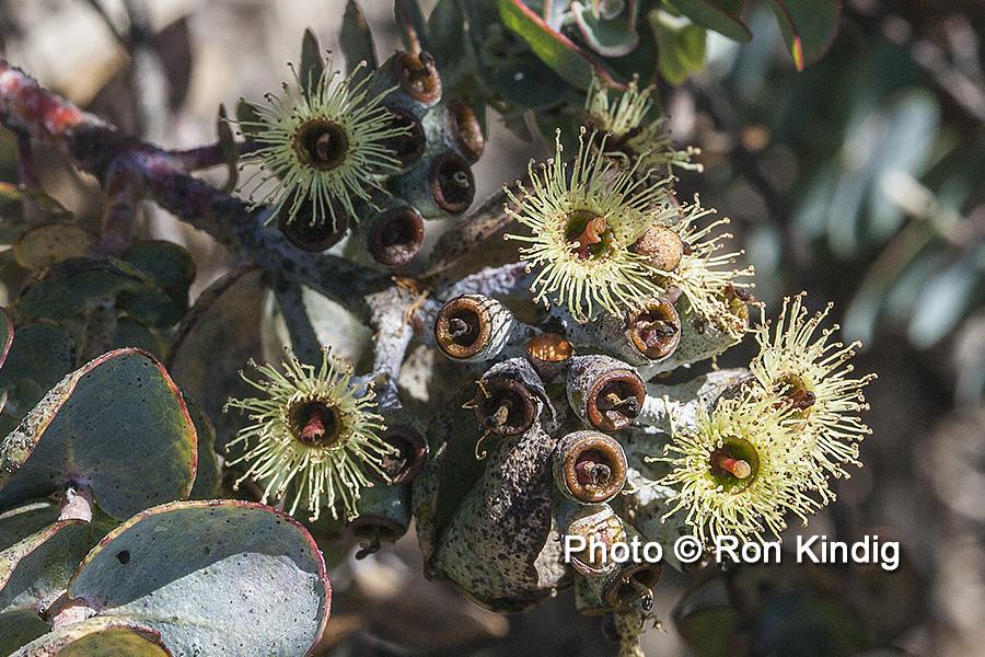 Eucalyptus kruseana CU KINDIG WEB.jpg