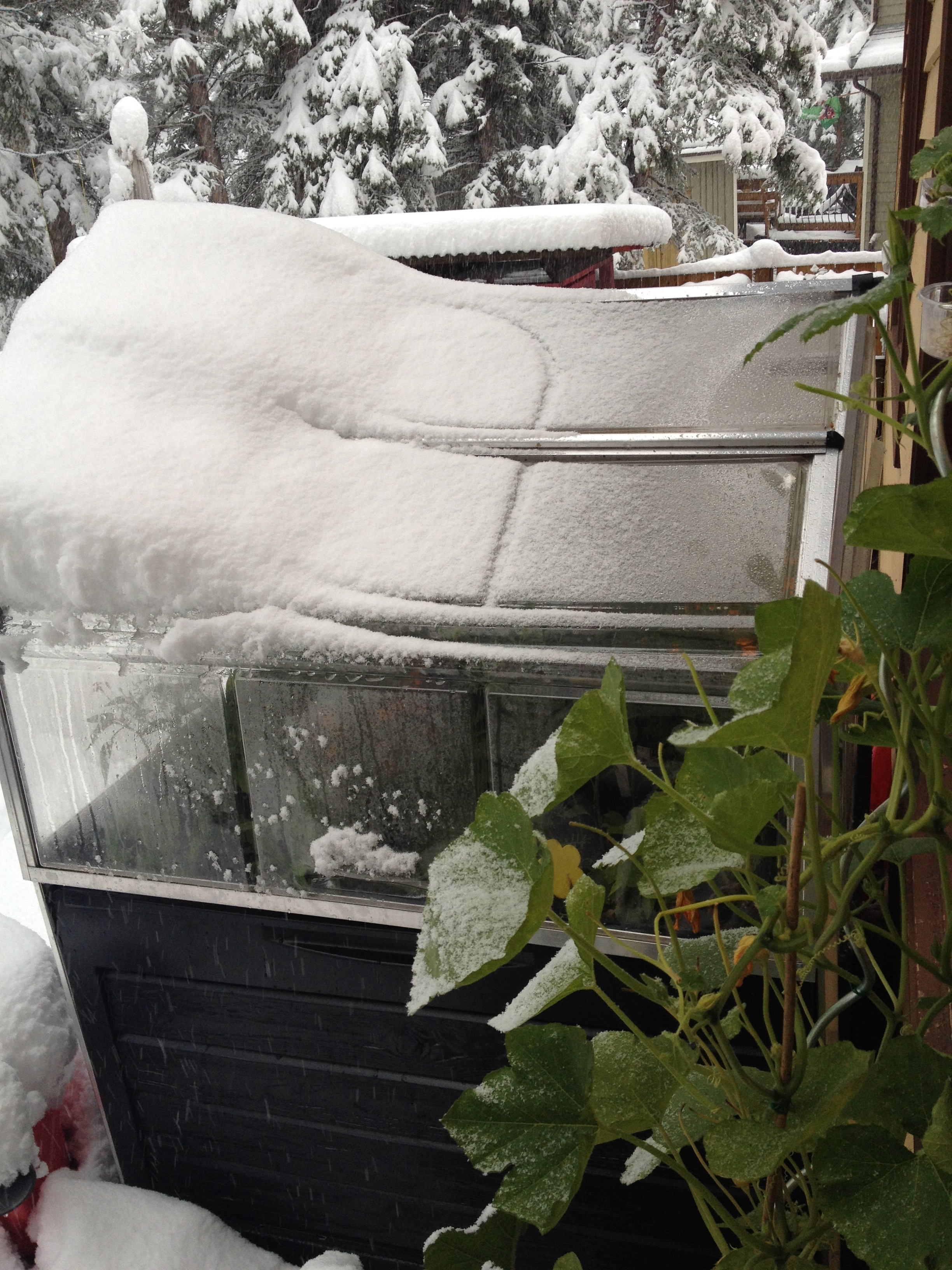 The perils of gardening in this climate. The season ends dramatically!
