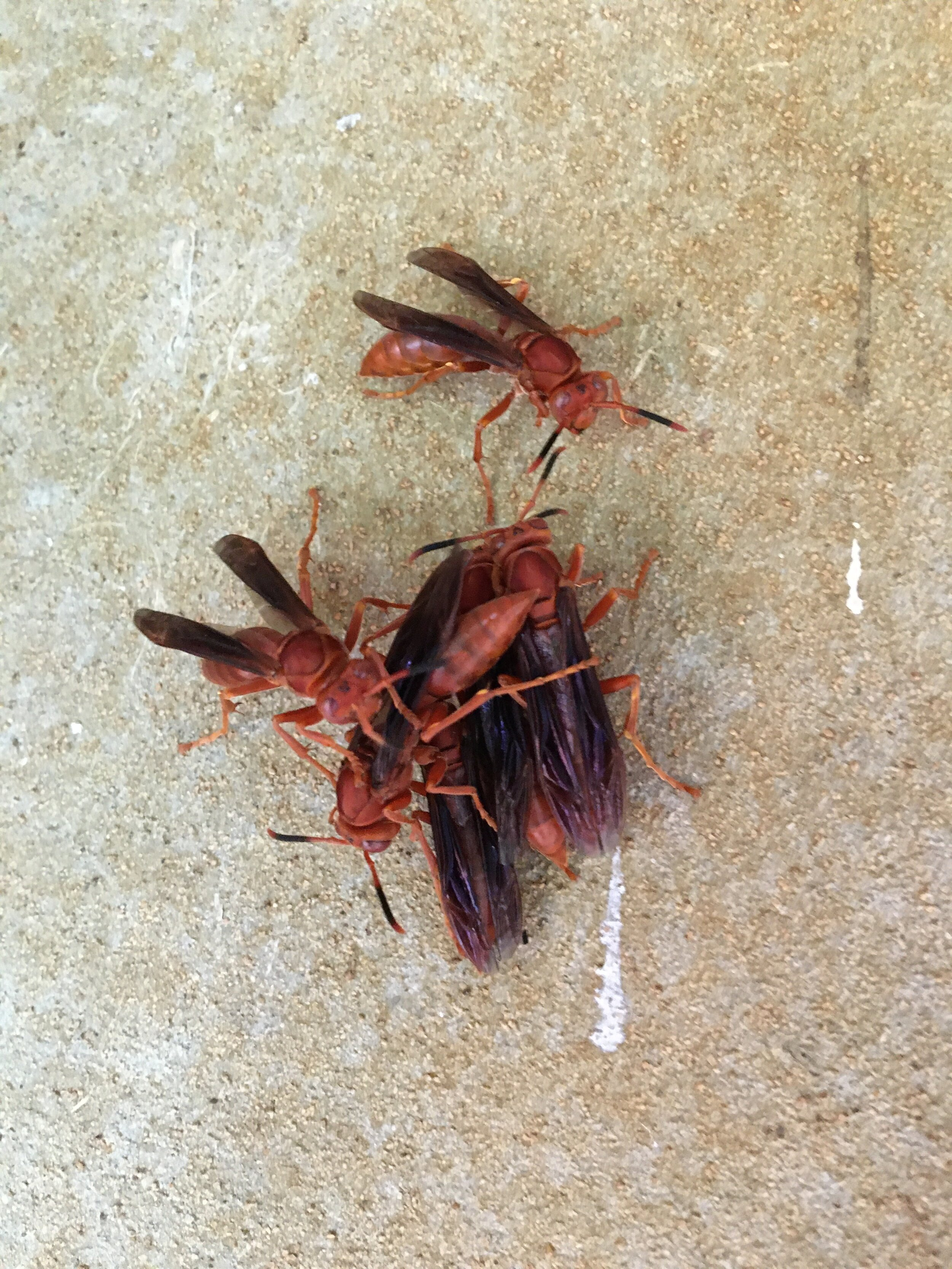 The hornets that love clustering on the walls and ceiling of my bedroom