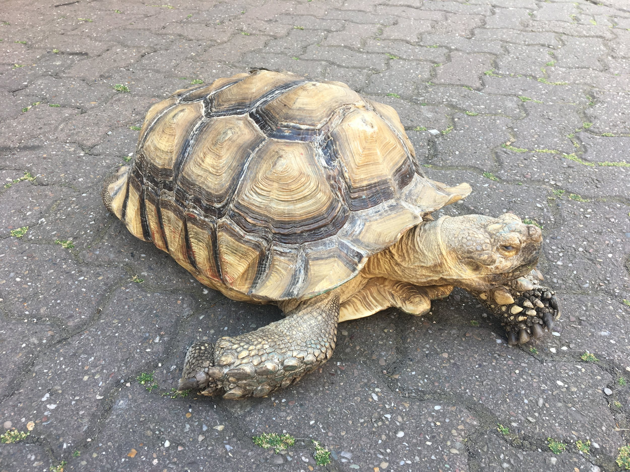 Tortoise wandering around Uttoxeter High Street