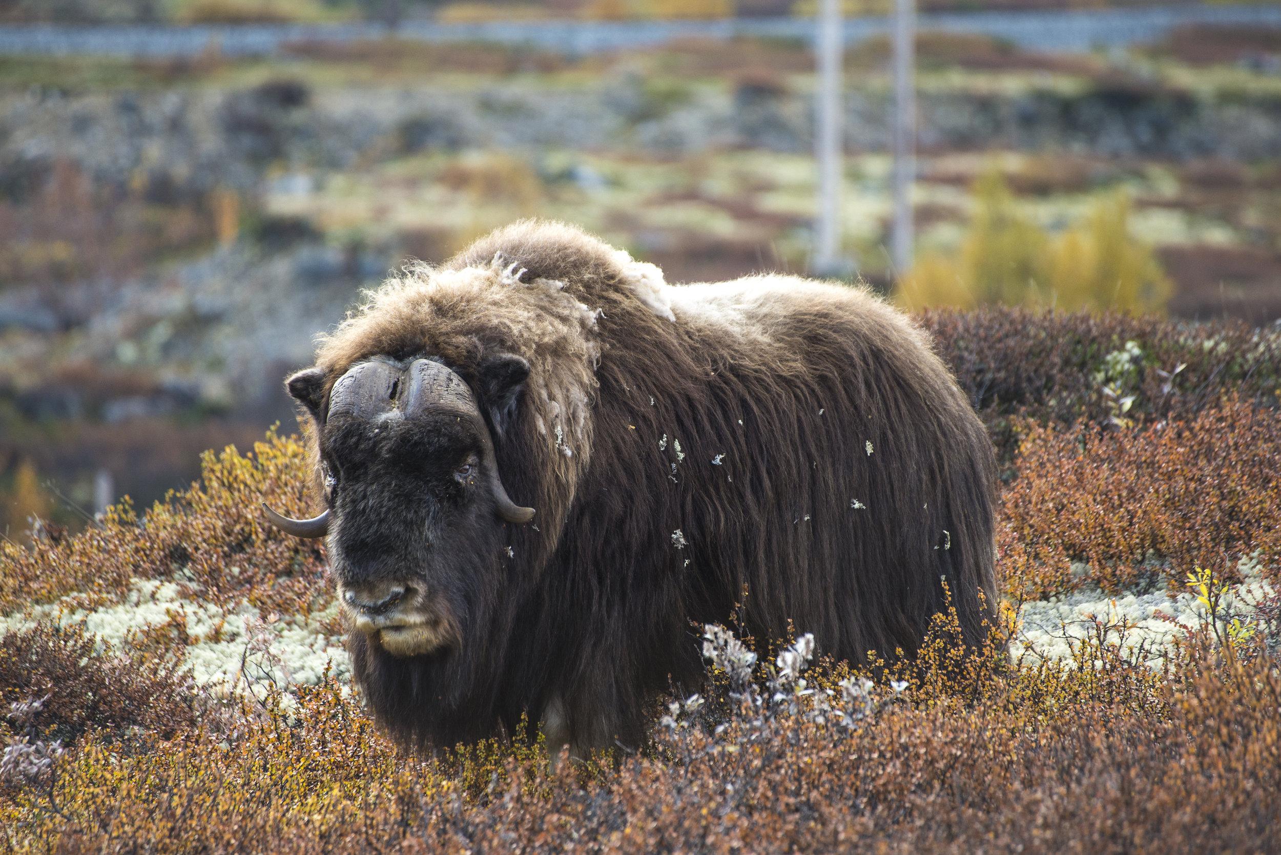 Moskusflokken på Dovrefjell ble etablert med importerte dyr fra Grønland i 1940- og 50-årene. Den kan komme opp i en toppfart på 60 kilometer i timen.