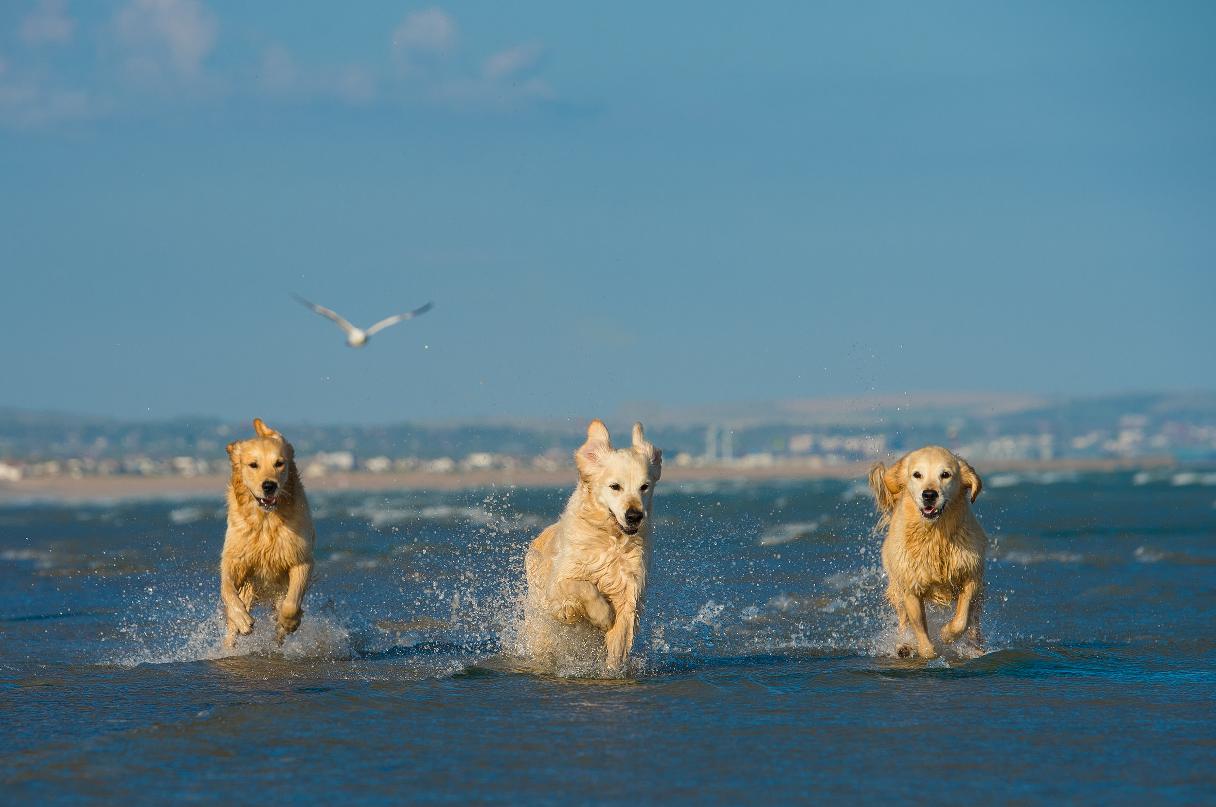 These three Golden Retrievers absolutely love the beach and water and chasing a ball, so it was an obvious decision to have their shoot at the beach