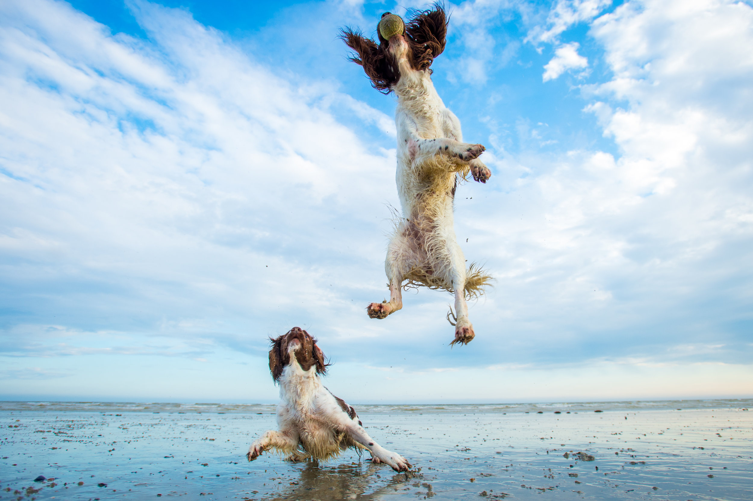 These two Spaniels absolutely love the ball and they didn't really care where they were, so it was their Mum's decision to have the shoot at the beach and we basically spent the whole time making it fun and playing with their beloved ball.