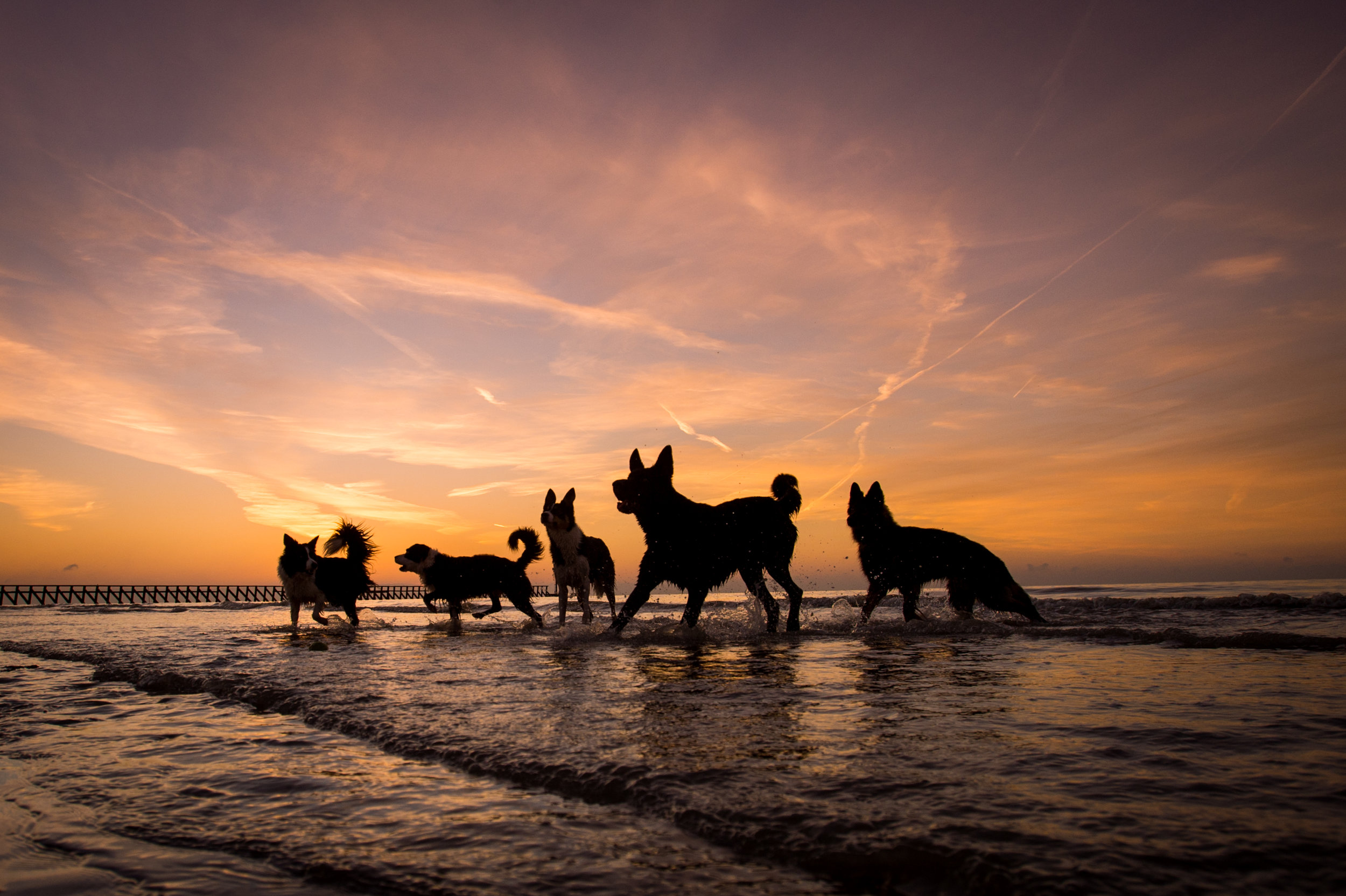 Sunset and sunrise times are especially great for fantastic lighting. These five dogs were photographed at sunrise, at which time you can get some great silhouettes. They were all just running in and out of water, not posing at all. It was lucky timing to get them all separate like this.