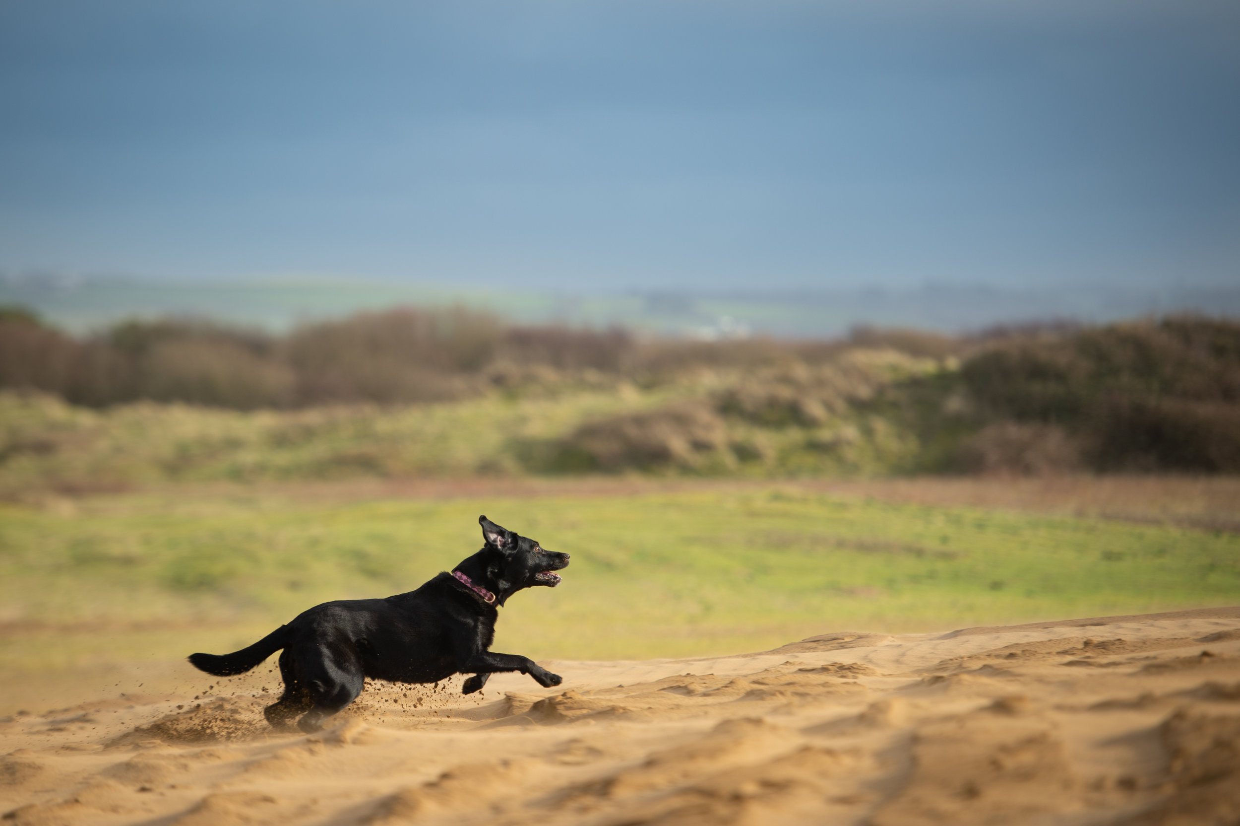 Dogs on the sand dunes at Saunton Sands