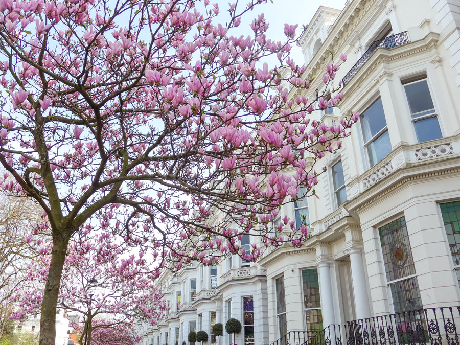 Pembridge-Square-Notting-Hill-London-Blossom-Magnolia.jpg