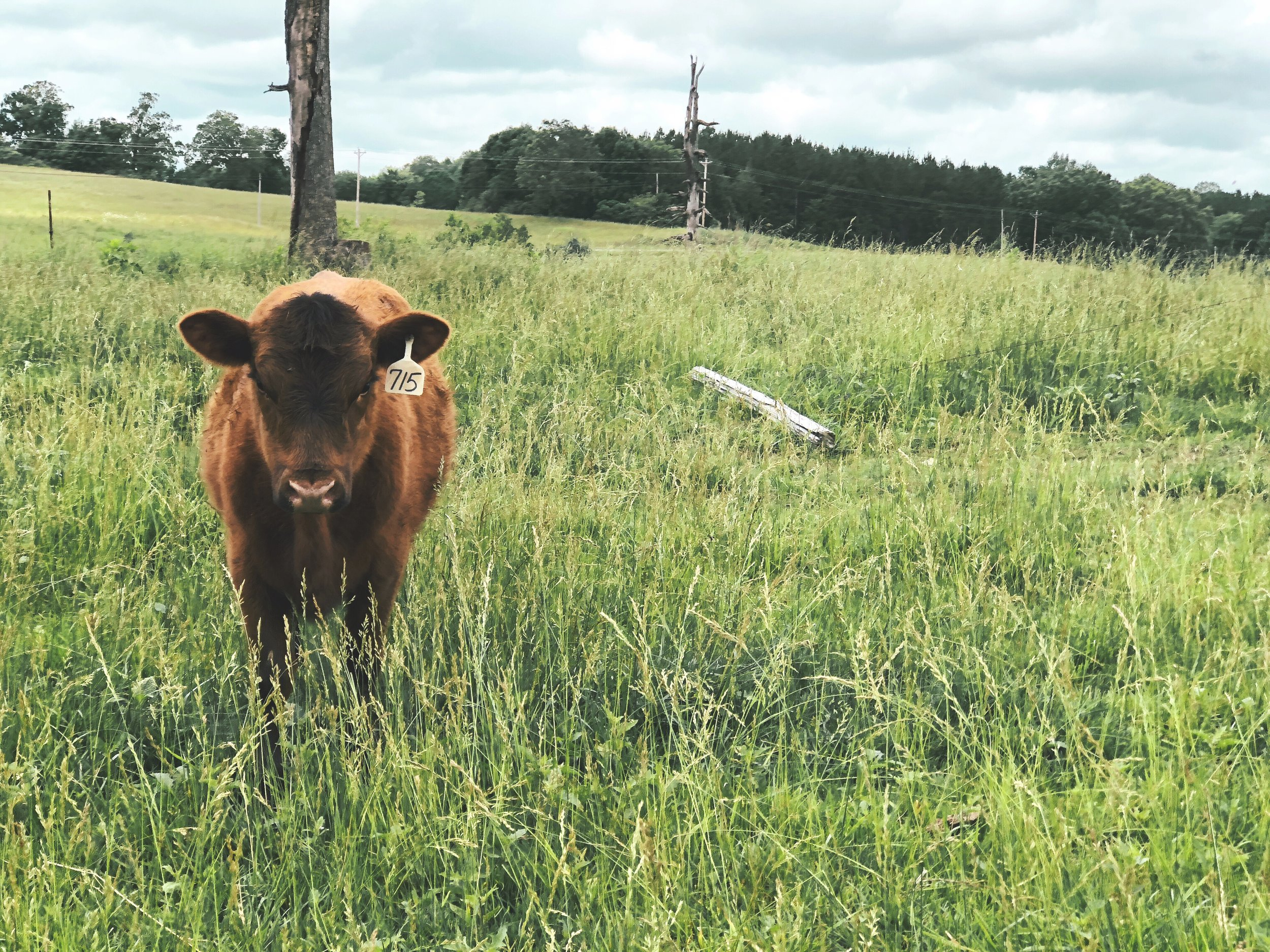Ever wonder why Grass fed beef is so much more expensive than regular beef in mainstream stores?  - it takes a year to two longer to get them to market size compared to a grain fed cow. A cheaper cow raised in less time means more people will have access to meat while keeping prices as low as possible.