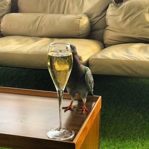 Champagne Pigeon.jpeg