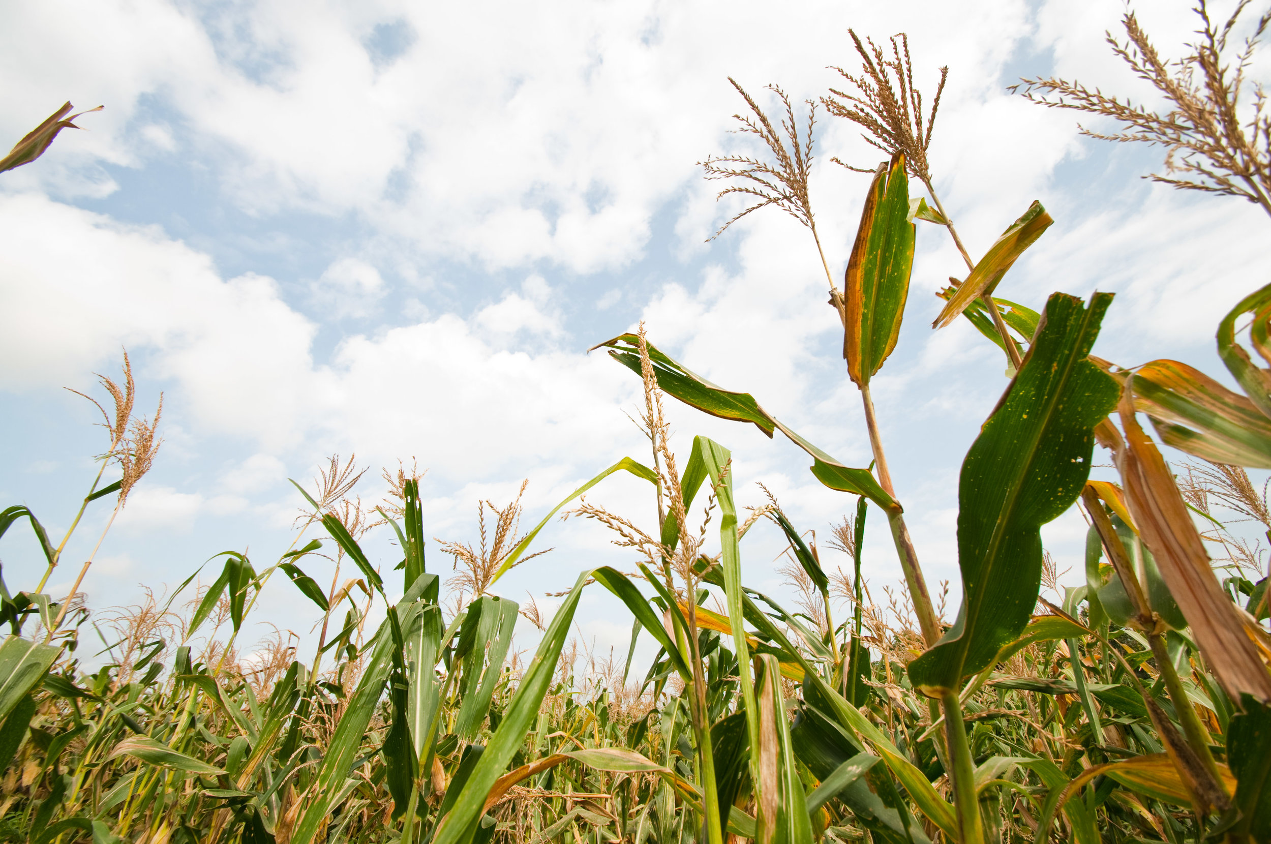 the family maize field