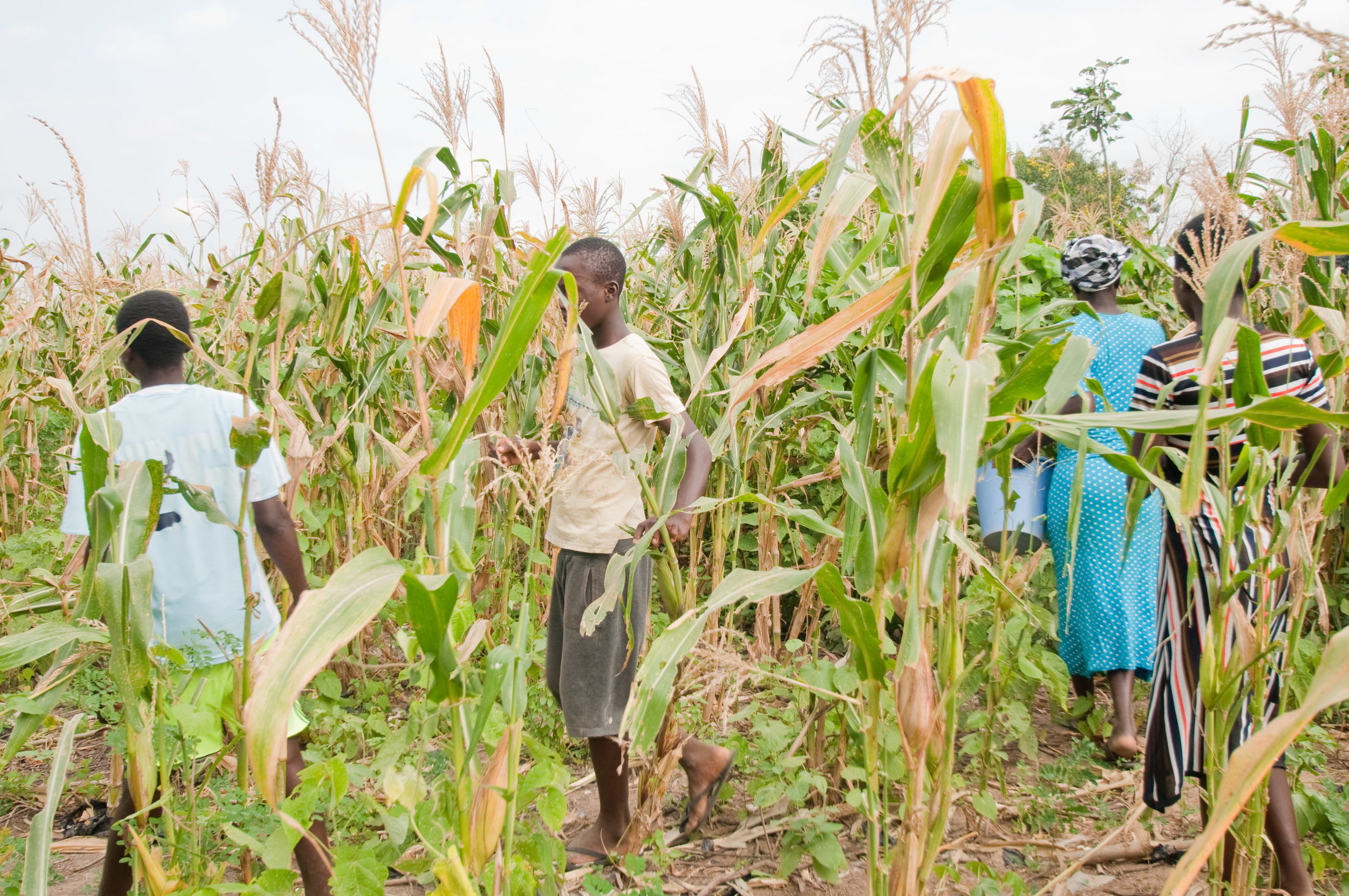 working together in the maize