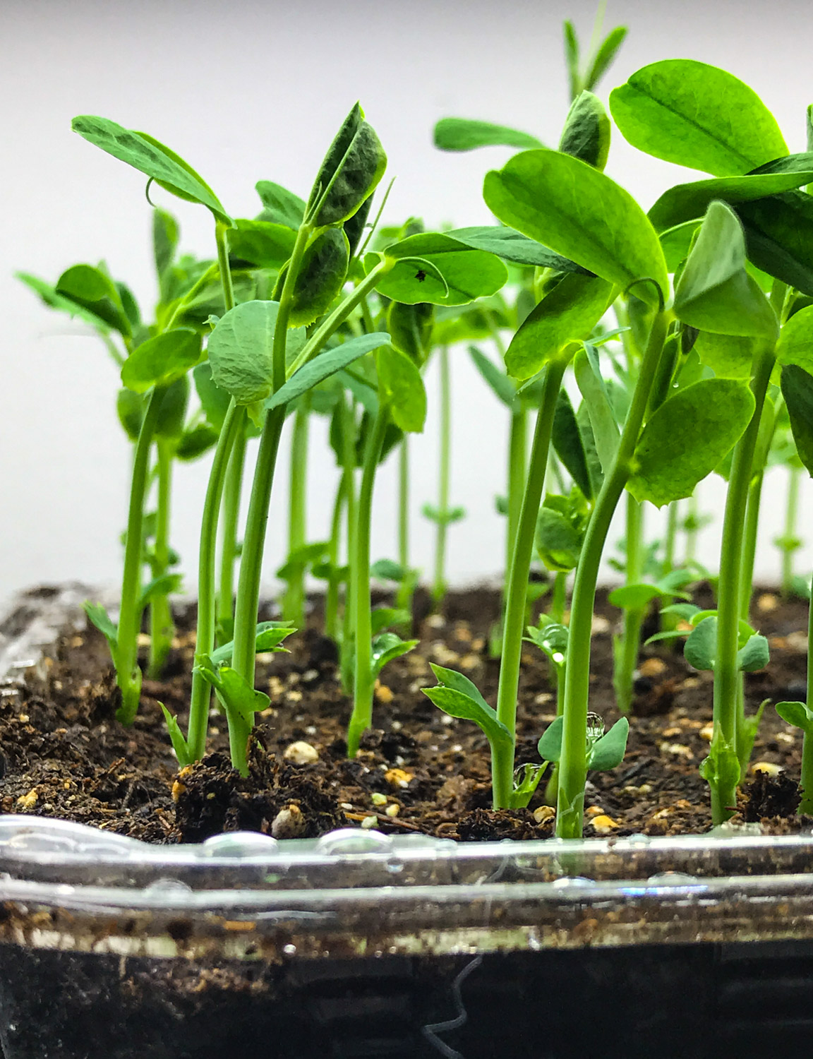 Pea sprouts are up! One more week of growing and they are ready for harvesting.