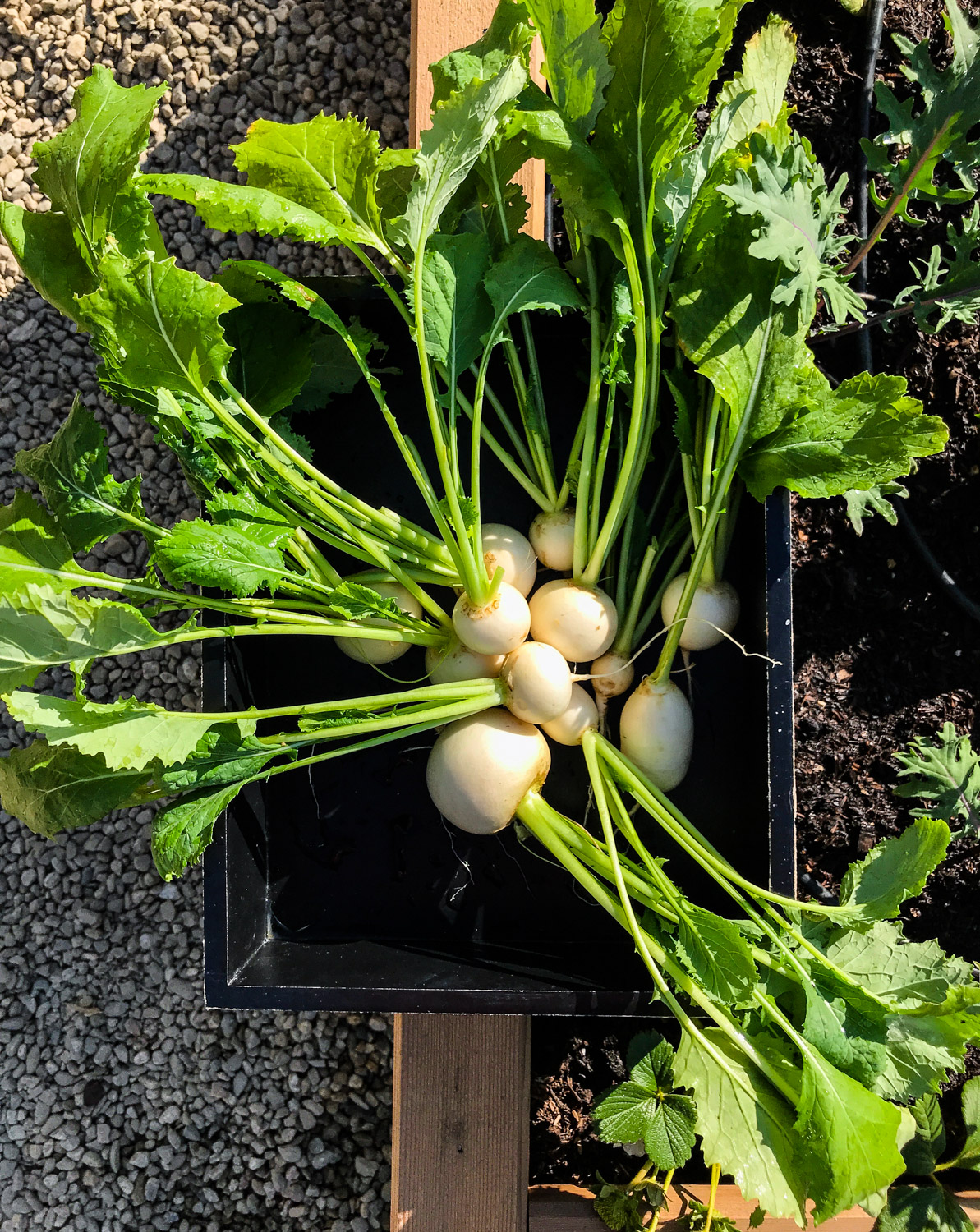 Garden Fresh Turnips