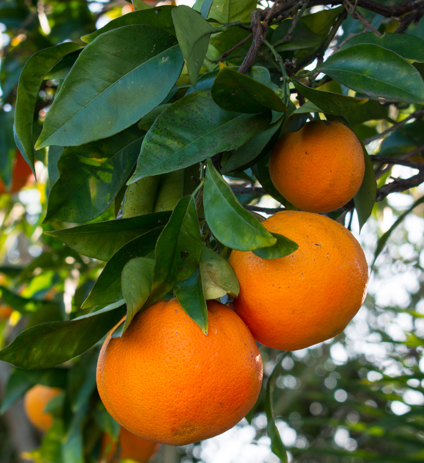 Oranges in our own tree.