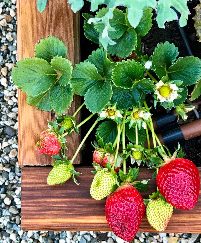 Fresh strawberries still on the vine.