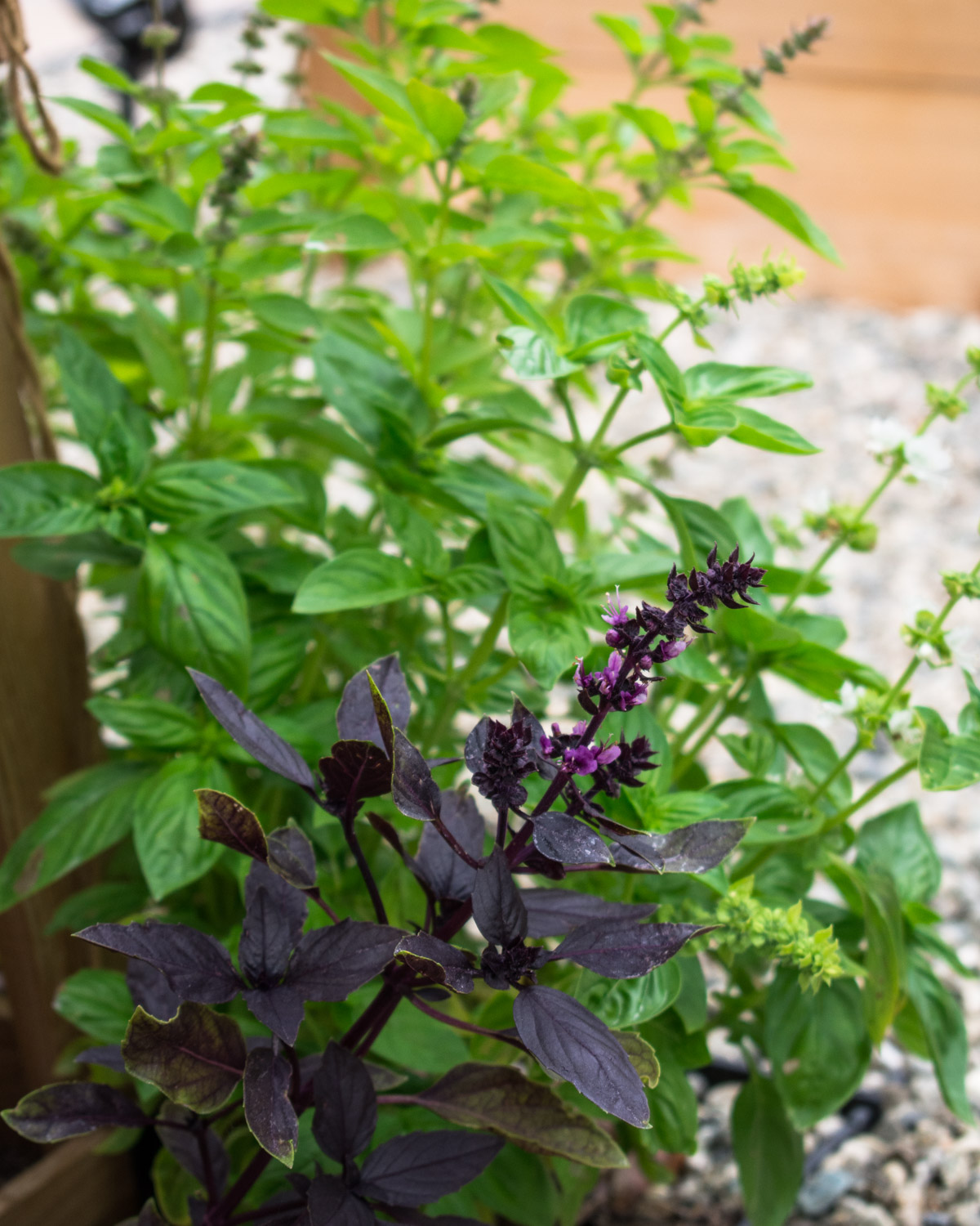 Genovese and purple basil growing in the garden.