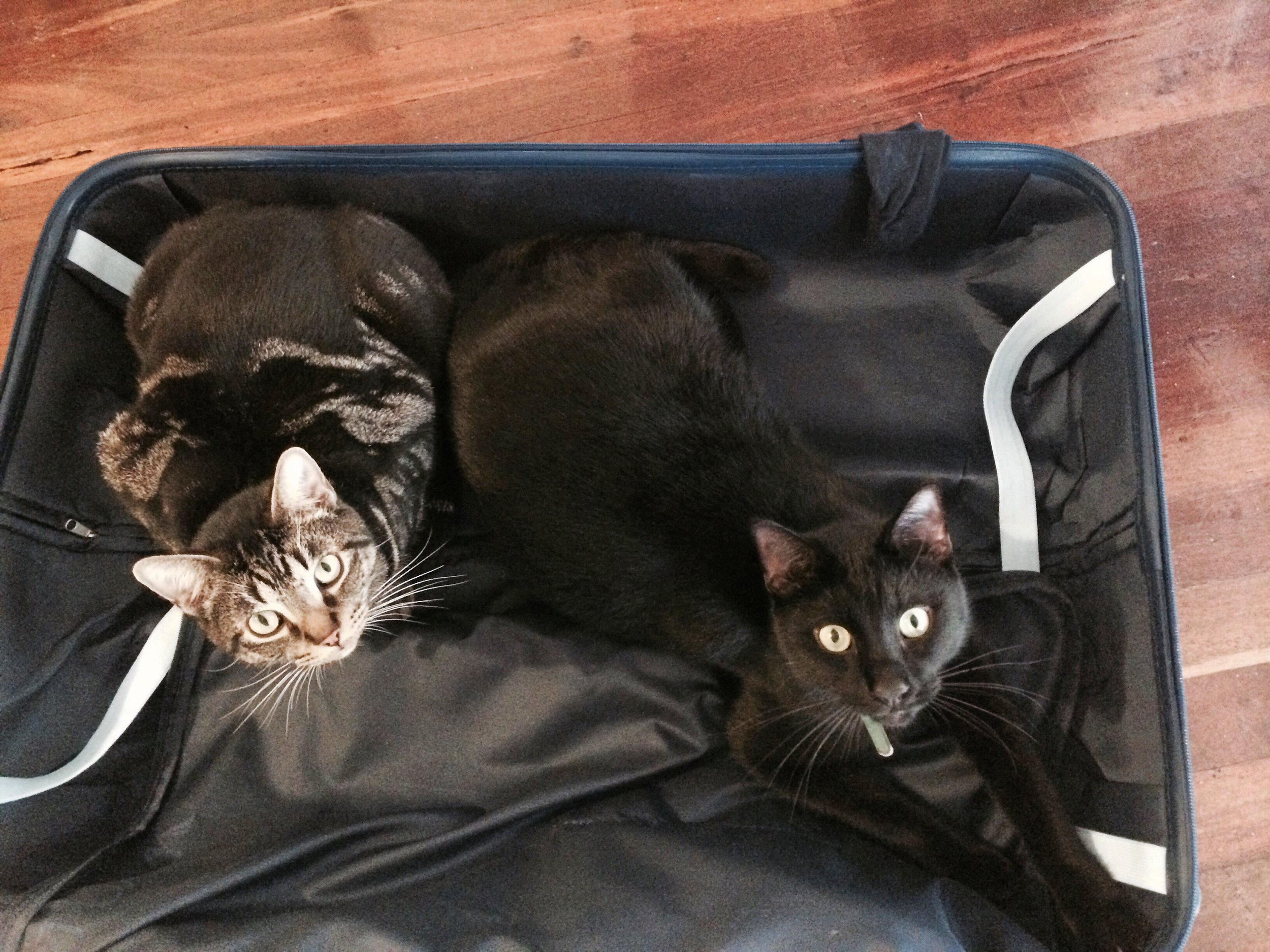 cats suitcase.jpeg