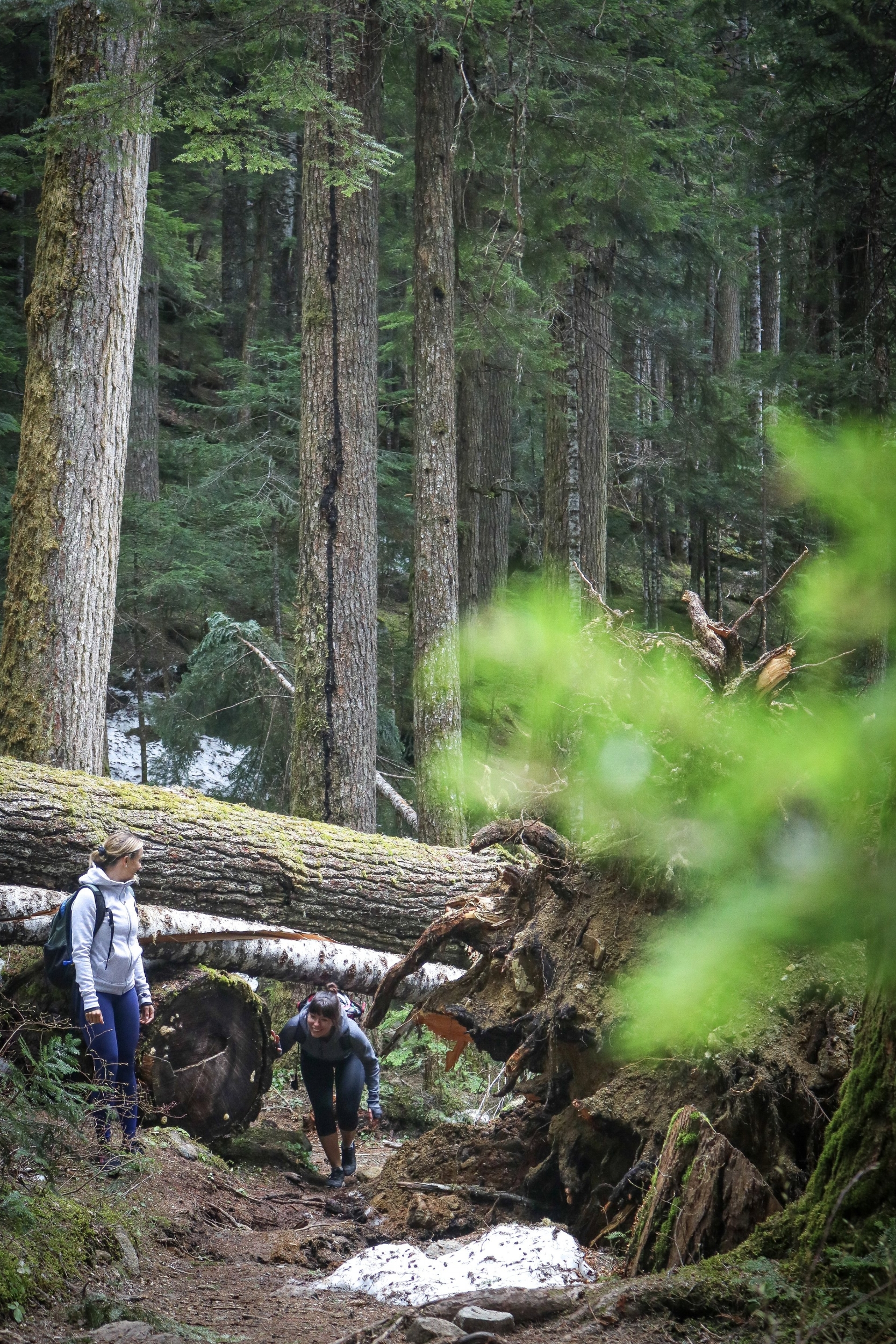 Storm trees in Whistler old growth forest