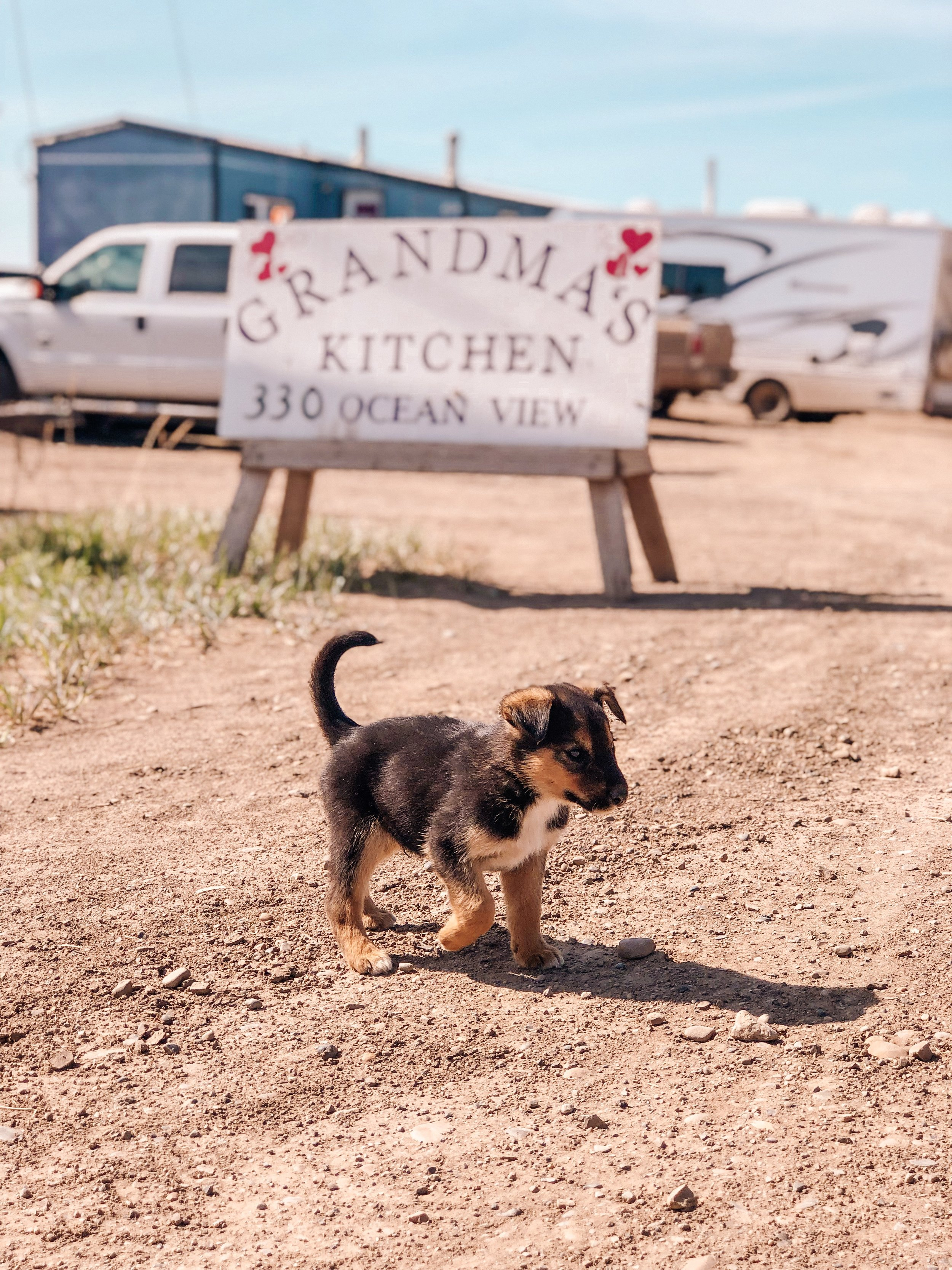 Cute husky sled dog puppies in Tuktoyaktuk Northwest Territories in Canada's arctic
