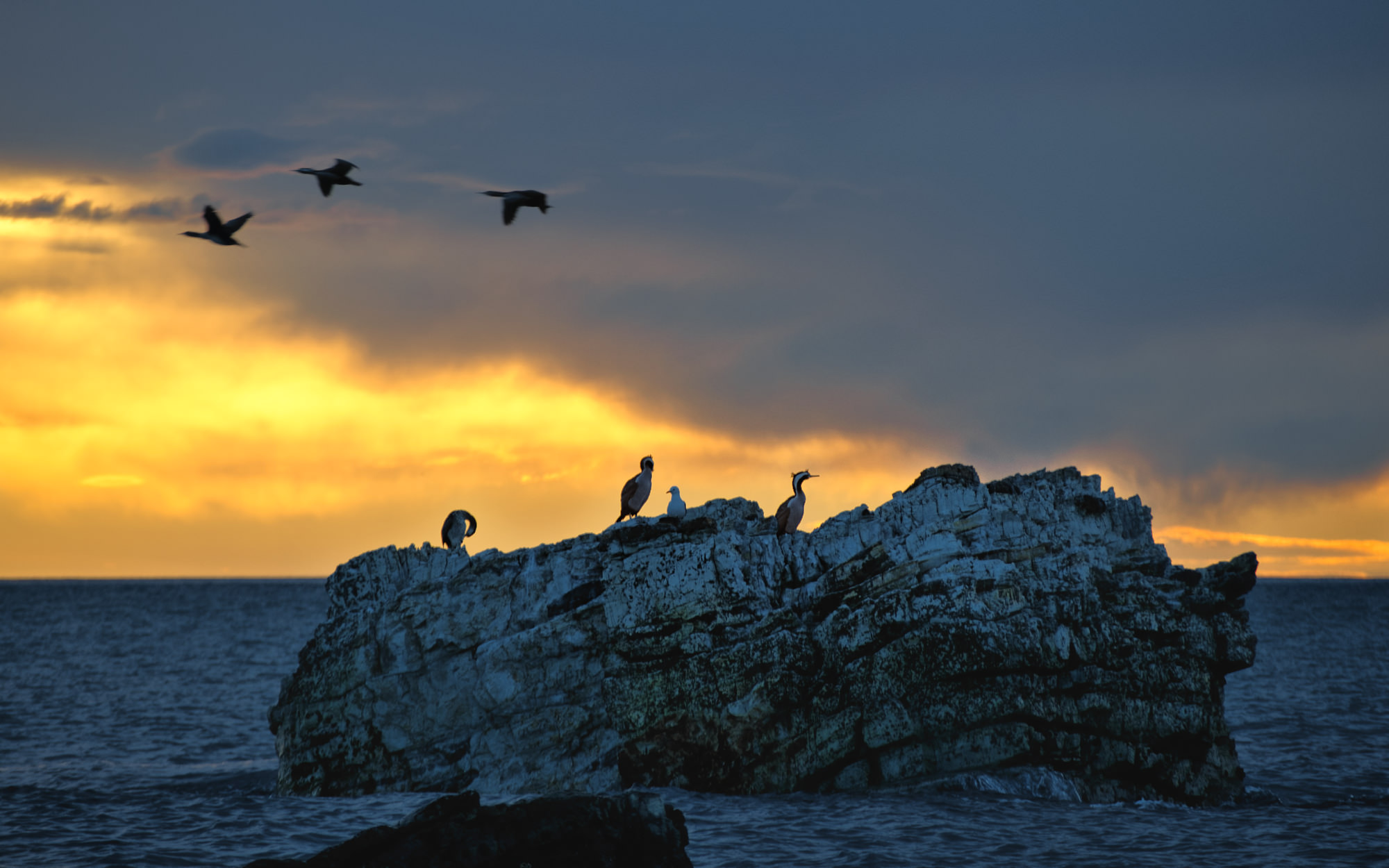 Parekareka, or Blue Shags, are just one of the 11 species of cormorant native to New Zealand. These ones, taken very early one morning in Kaikoura, are waiting on their fishing roost for the sun to rise, a mere 50 meters from the shoreline.