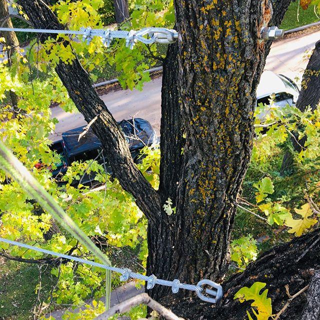 Glad we were able to add support to a big oak before the storm hit. #treecabling #codominant #static #treecabling #hardware #savetrees #treecare #treemaggedon #arborist #trees #stormdamage #MBstorm #work #treedamage #arboristsofinstagram #climbingarborist #skilledtrades #arboriculture #oak #treework #arborists #steelcables #treesupport #treecareindustry #winnipeg #manitoba