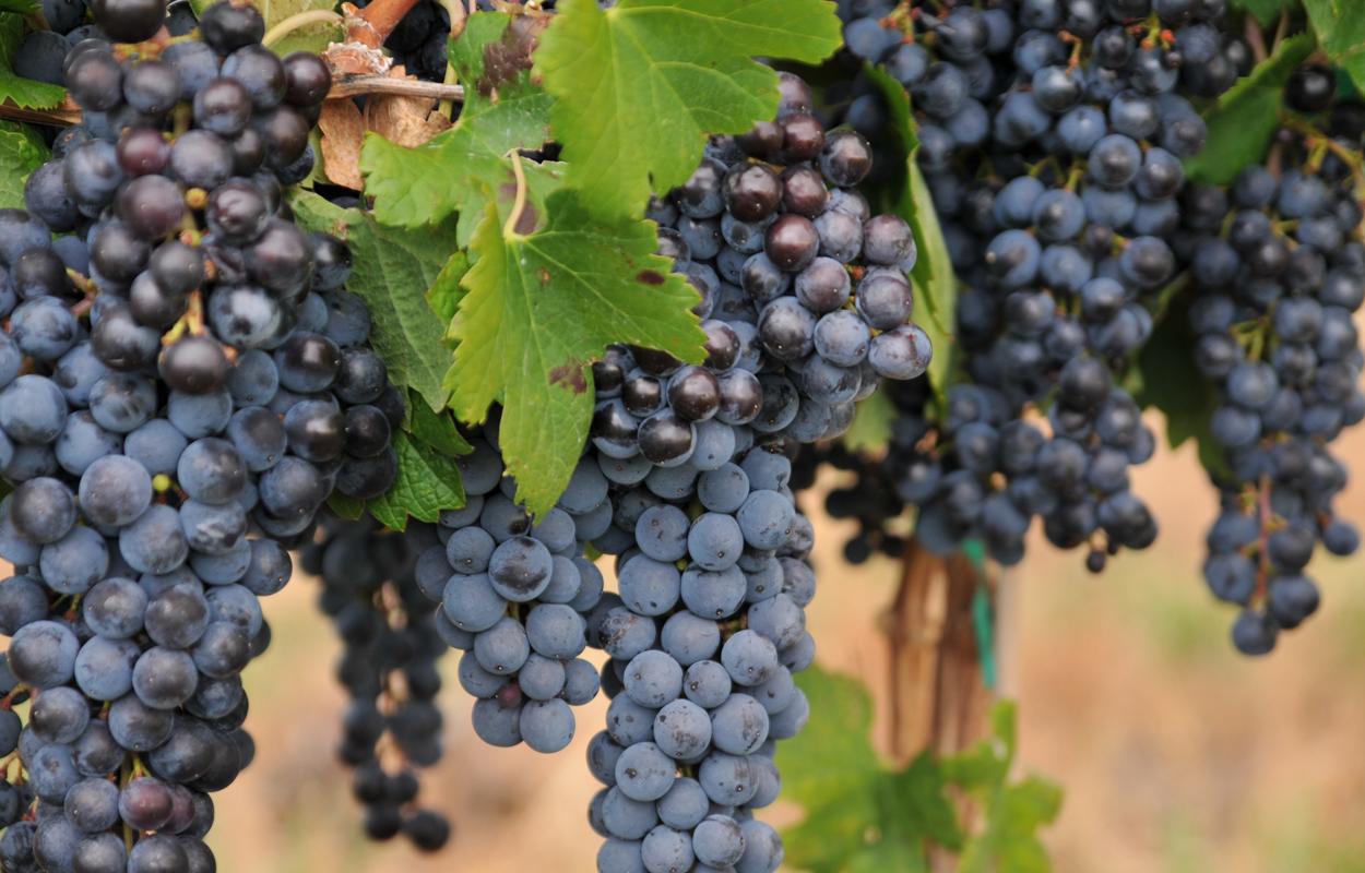 Merlot Grapes.jpg