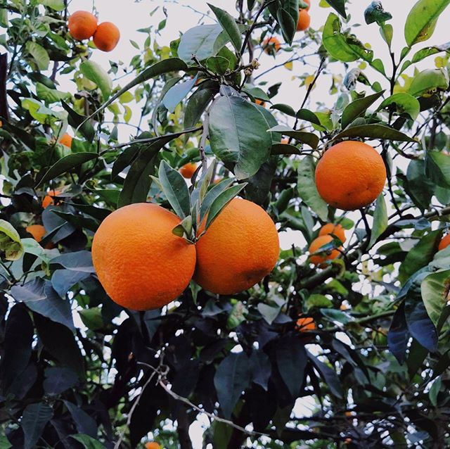 Oranges from Gaza, once prized across the region and exported in by the tons. In episode 5, Gaza farmers tell Intractable about the cost of the blockade on their business, their trade, and their livelihood, and we discuss the political reasons for—and affects of—the situation in this complex and explosive strip of land.  Stay tuned for Episode 5, out soon.  #Israel #Palestine #israelipalestinian #conflict #peace #Gaza #marchofreturn #podcast #intractable #intractablepodcast #Egypt #Hamas #politics #history #oranges #farming #economics #storytelling