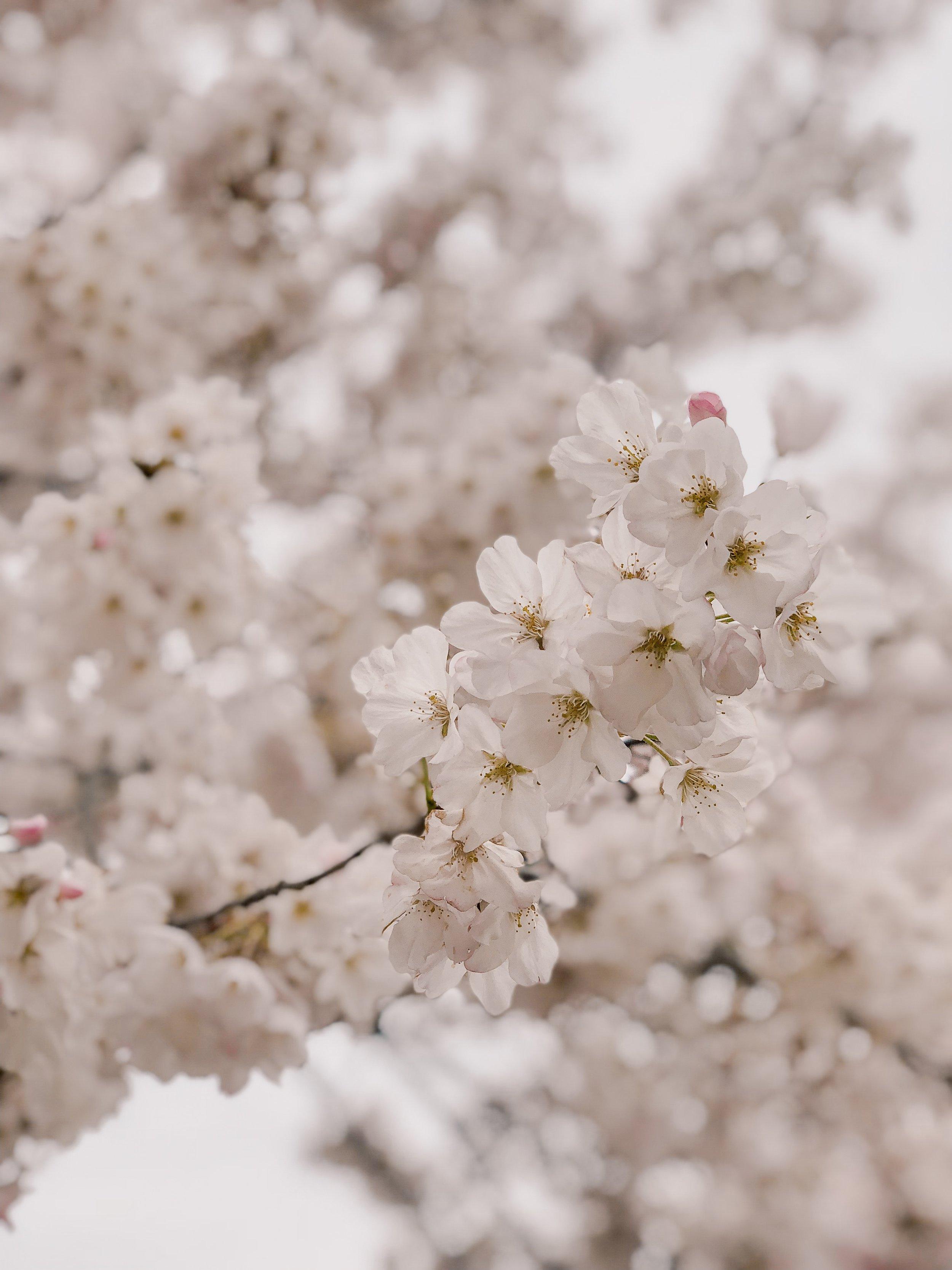 cherryblossoms9.JPG