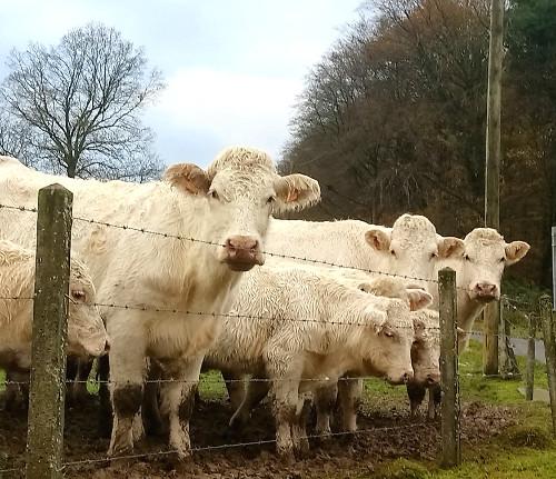 franse koeien.jpg