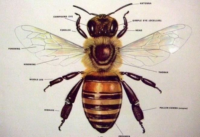 Photo Source:https://www.benefits-of-honey.com/images/honey_bee_body_parts.jpg