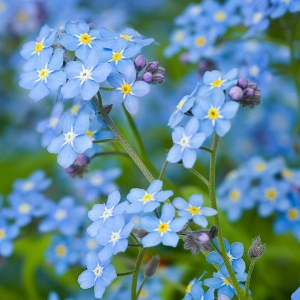 Forget-me-nots - Bloom Time: SpringSoil pH: NeutralPlant Space: 6 inchesSun Exposure: AnyWatering: 1-2 times/week