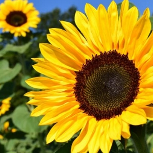 Sunflowers - Bloom Time: SummerSoil pH: AlkalinePlant Space: 6 inchesSun Exposure: Full SunWatering: Lots of water once a week