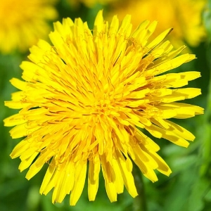 Dandelions - Bloom Time: SpringSoil pH: NeutralPlant Space: 6 inchesSun Exposure: AnyWatering: Any(can be considered a common weed but beloved by honey bees)