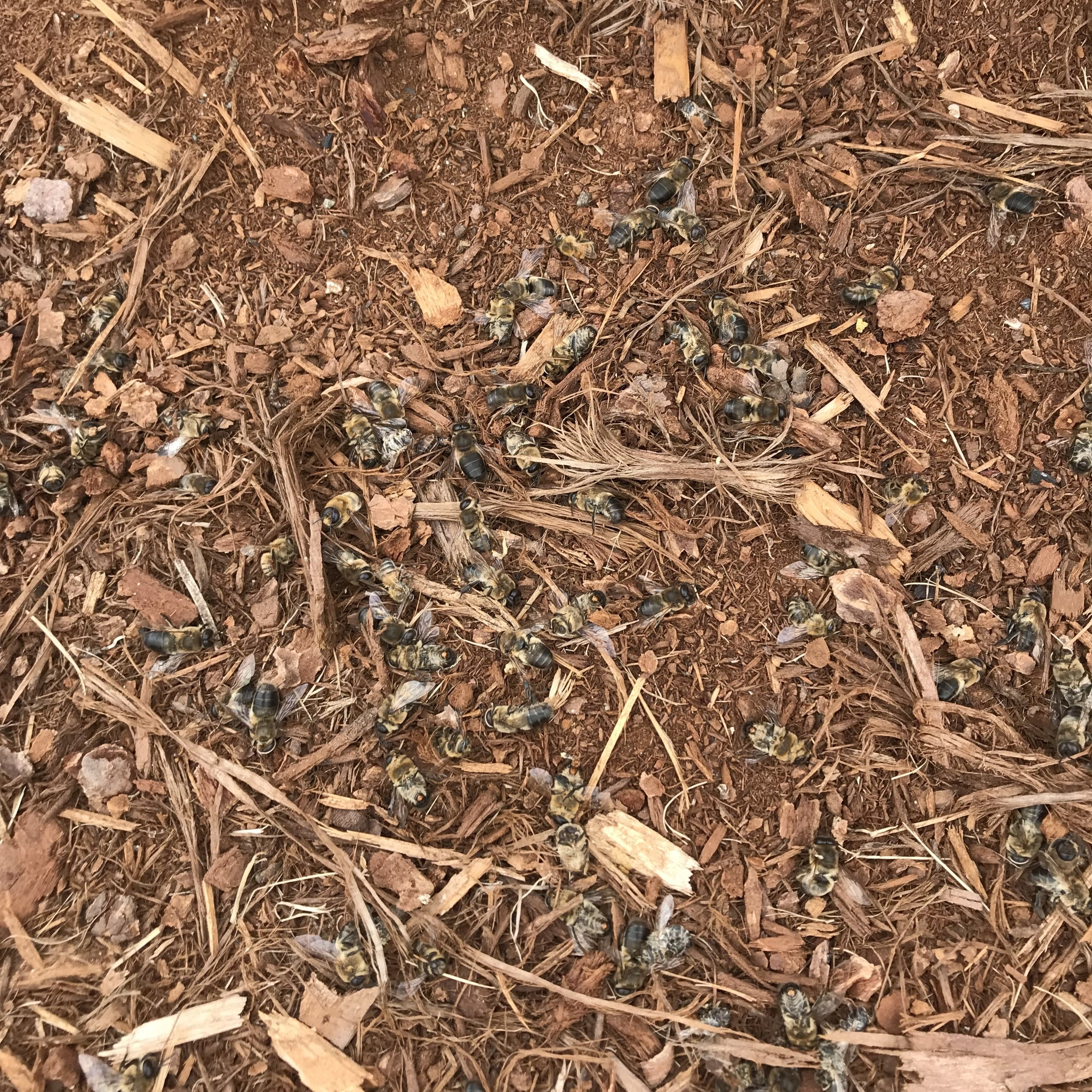 A pile of dead bees we found right in front of on of our hives!