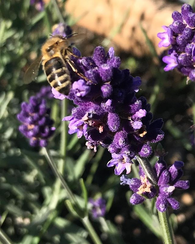 💜🐝 Just now, this little lavender lovin' gal  #lavender #honey #honeydiaries #honeybee #nanaimo #thehoneydiaries #bees #beehive #pollen
