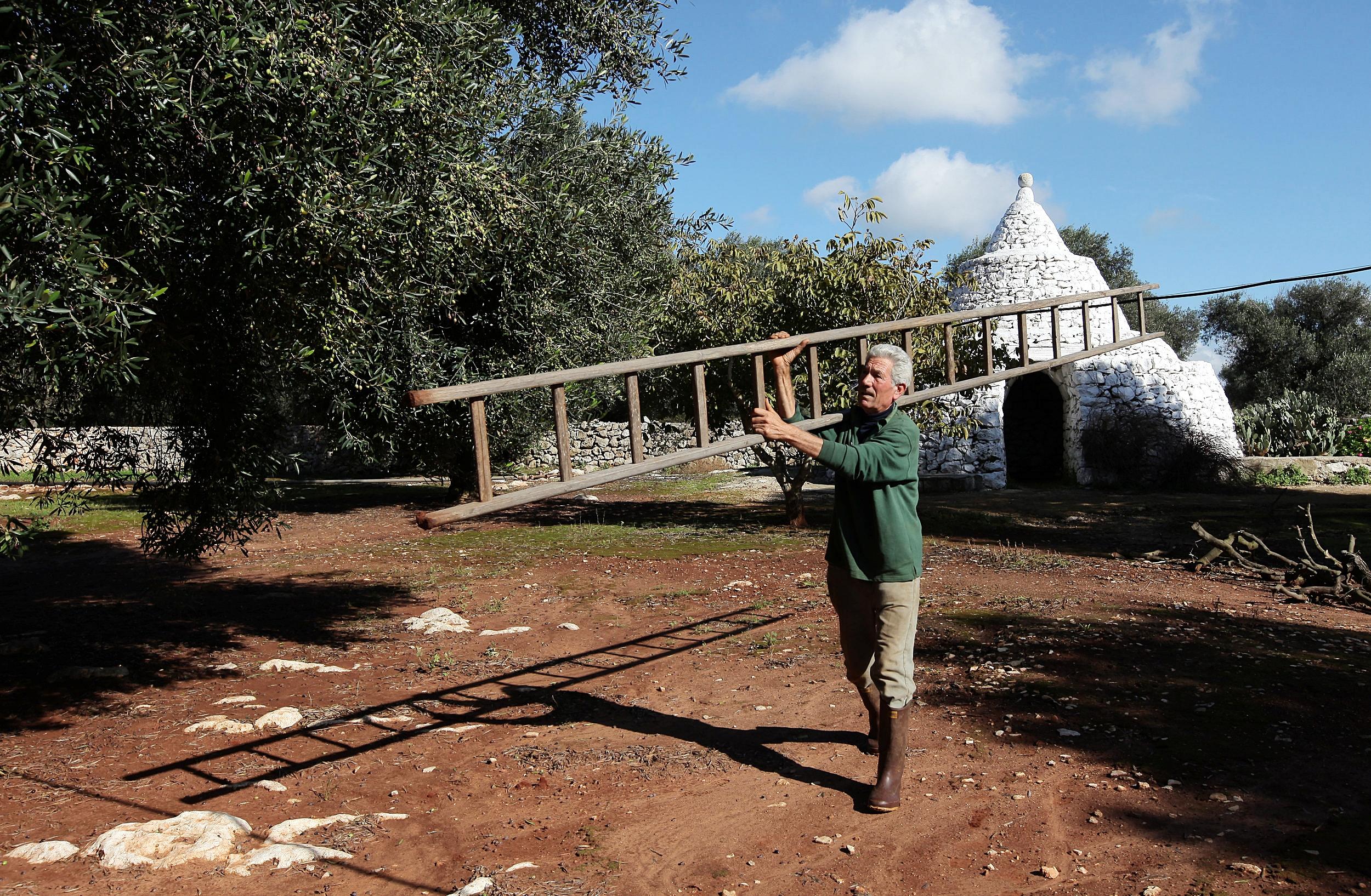 La Préparation - Généralement, la récolte des olives se fait à partir du mois d'Octobre et se termine en Janvier. La période varie en fonction de la maturité des olives. La zone géographique ainsi que l'ensoleillement définissent donc cette période.