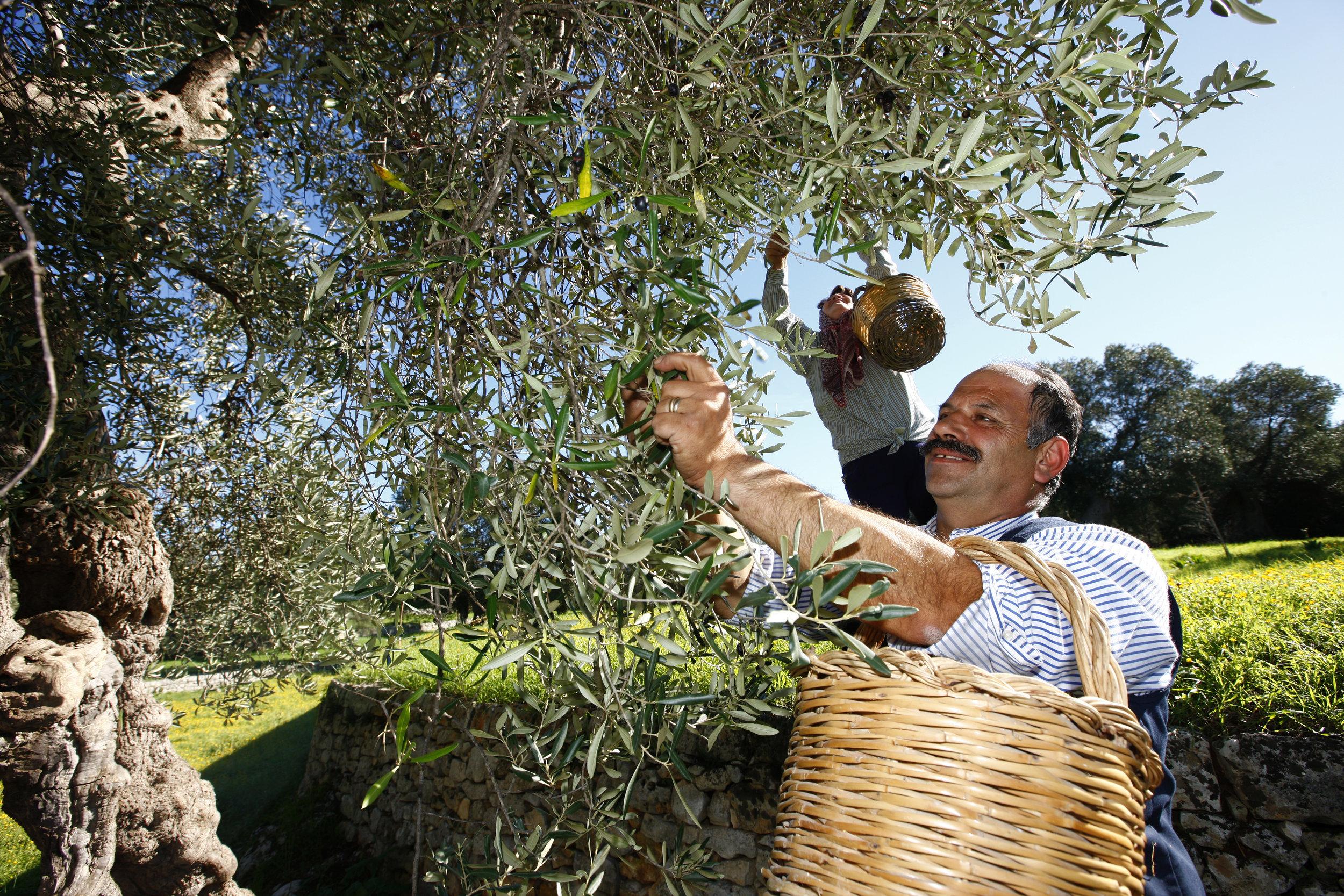 La Cueillette - La récolte dans les Pouilles se fait à la main mais aussi à l'aide de grandes perches afin de ne pas abimer les feuilles et les olives.Idéalement, les olives sont récoltées lorsqu'elles sont encore vertes pour que l'arôme de l'huile conserve toute son intensité.