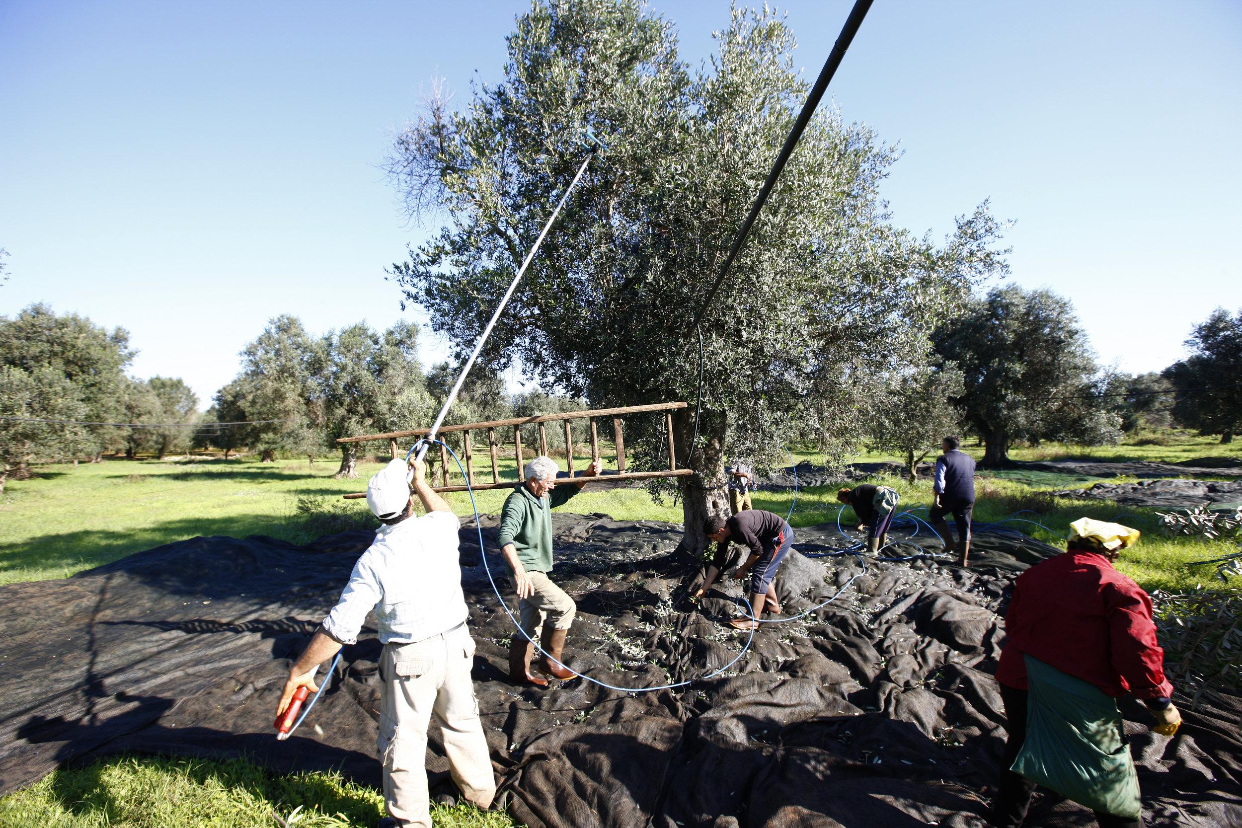 L'Effeuillage - Il est très important de faire le tri dans la récolte afin de n'en ressortir que des olives propres et irréprochables. Il faut donc prendre le temps d'enlever les brindilles, les rameaux et les morceaux d'écorce avant le pressage des olives.