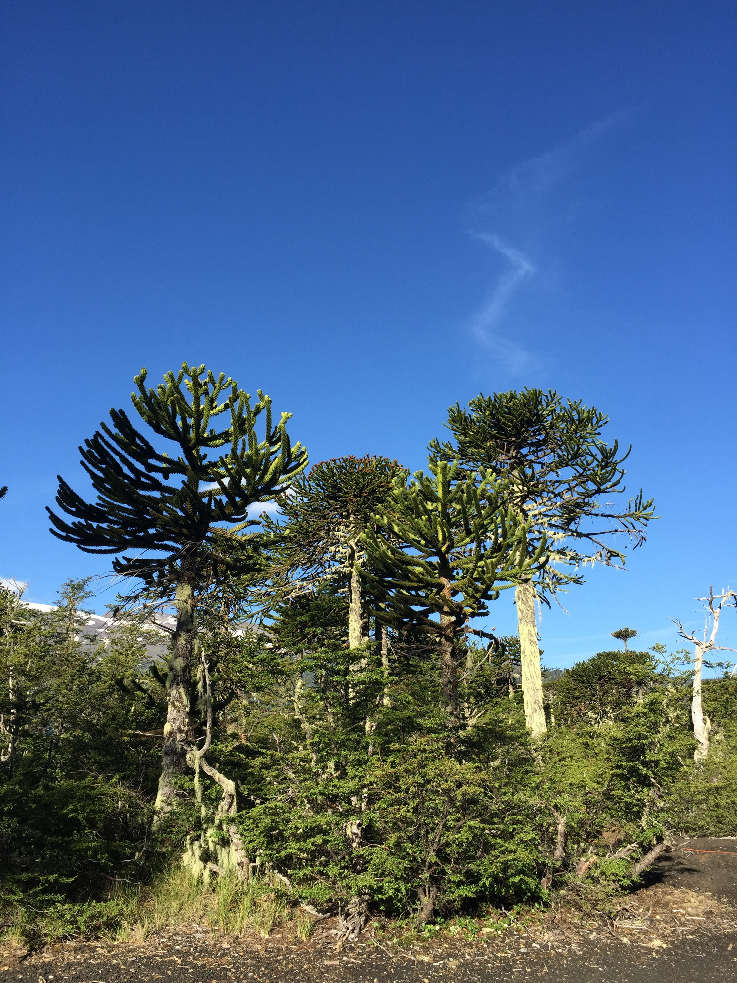 Araucaria trees Conguillio National Park with Samadhi Eco Resort Chile